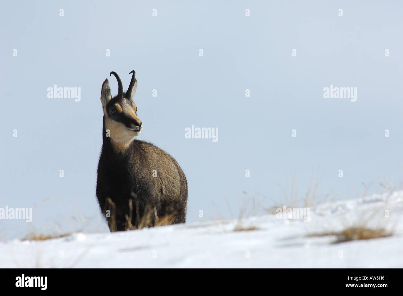Camoscio Rupicapra rupicapra mammiferi neve nevicata montagna paesaggio inverno Valnoney Cogne Parco Nazionale Gran Immagini Stock