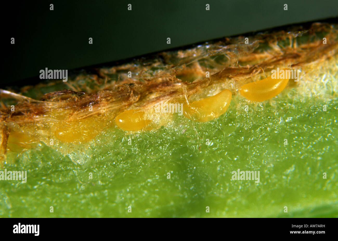 Uova di una variabile rose sawfly Arge pagana prevista all'interno del peduncolo di un fiore rosa Immagini Stock