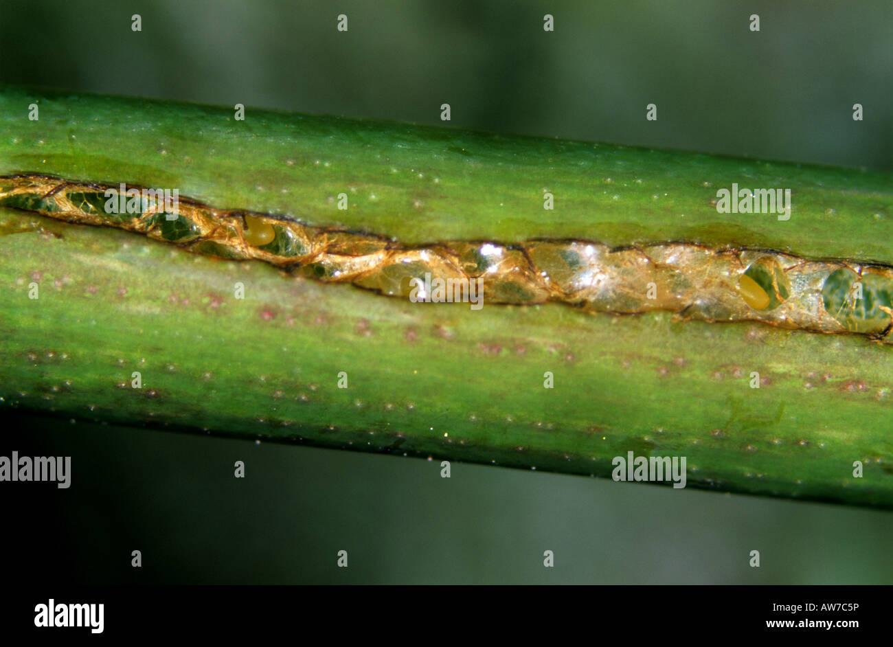 Taglio di apertura in un peduncolo di rose in cui la variabile rose sawfly Arge pagana uova sono state deposte Immagini Stock