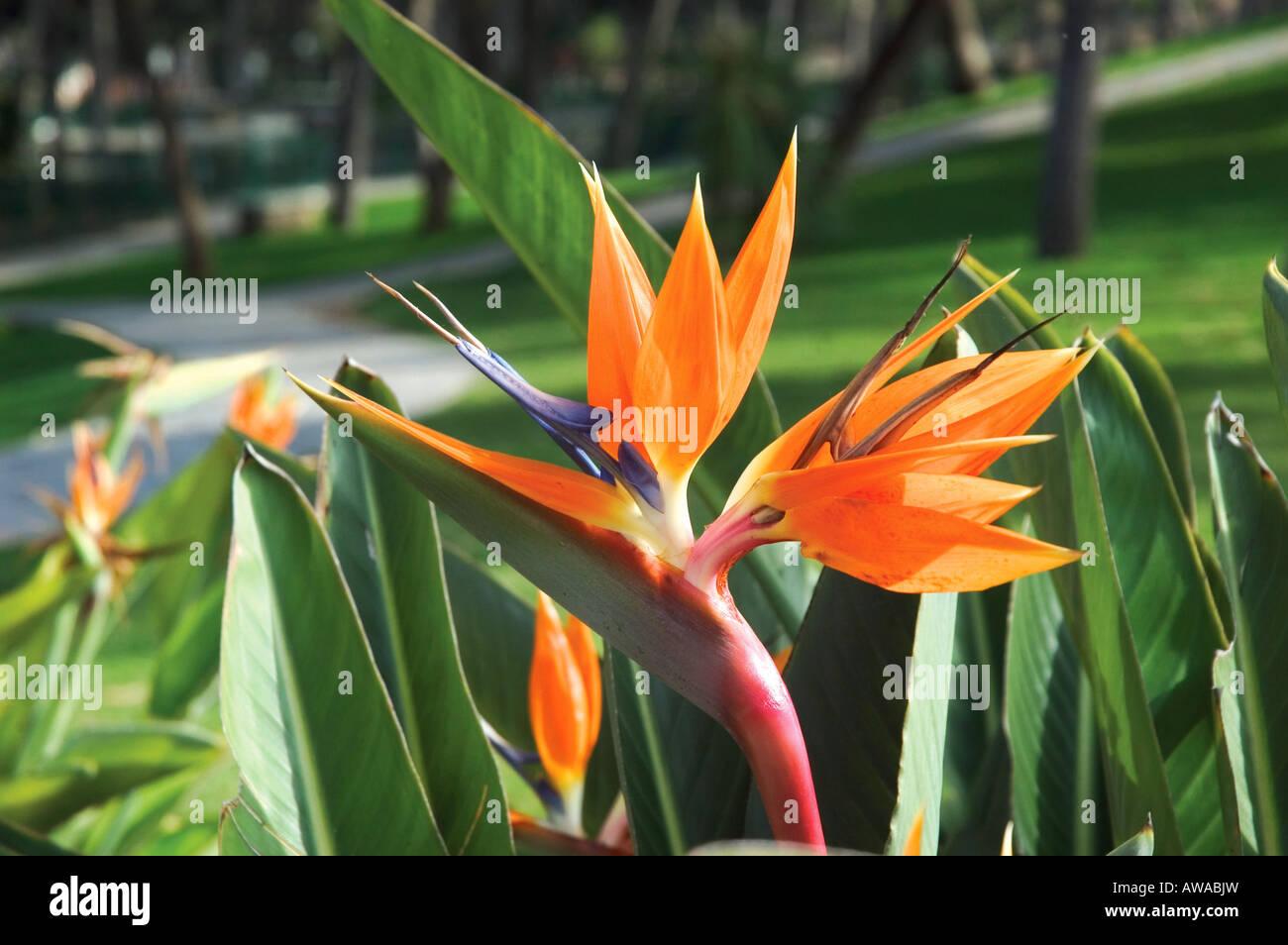 Fiori Arancioni.Fiori Arancioni Che Cresce In Giardino In Guardamar Costa Blanca