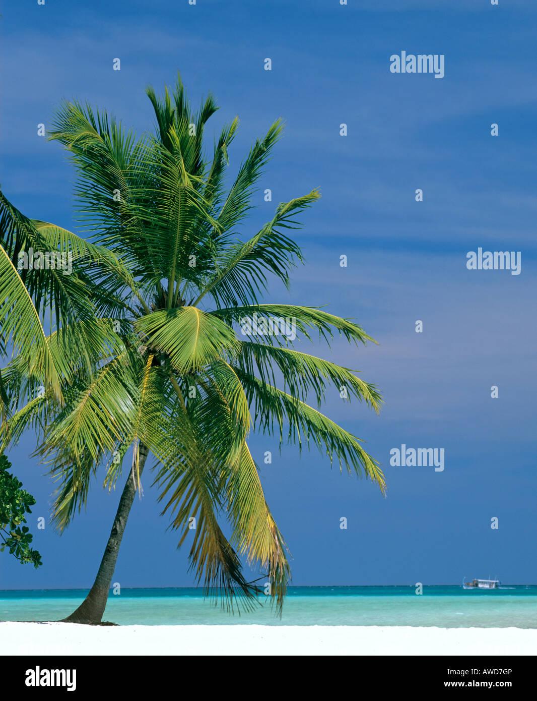 Palm Tree sulla spiaggia, Maldive, Oceano Indiano Immagini Stock