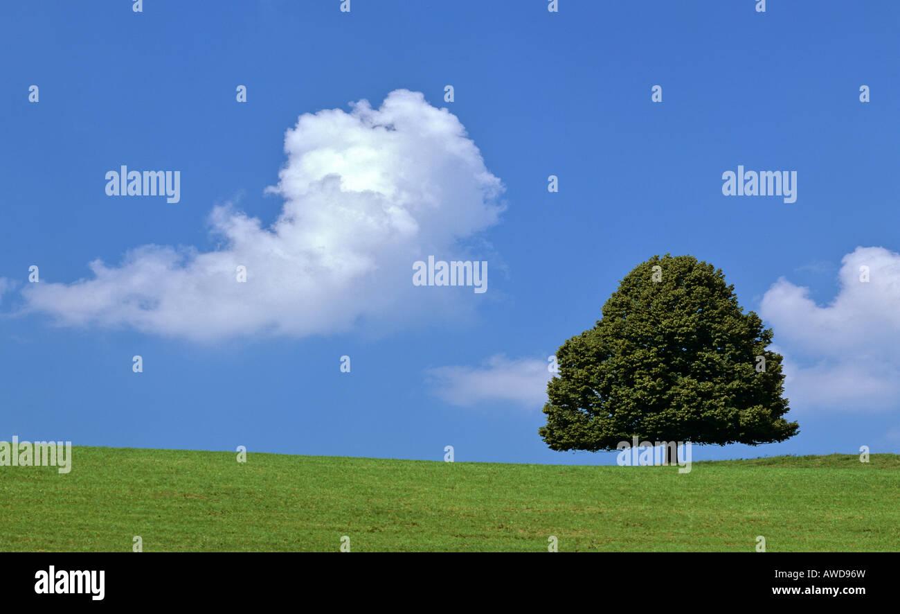 Tiglio (Tilia) su un prato estivo, cumulus cloud Immagini Stock