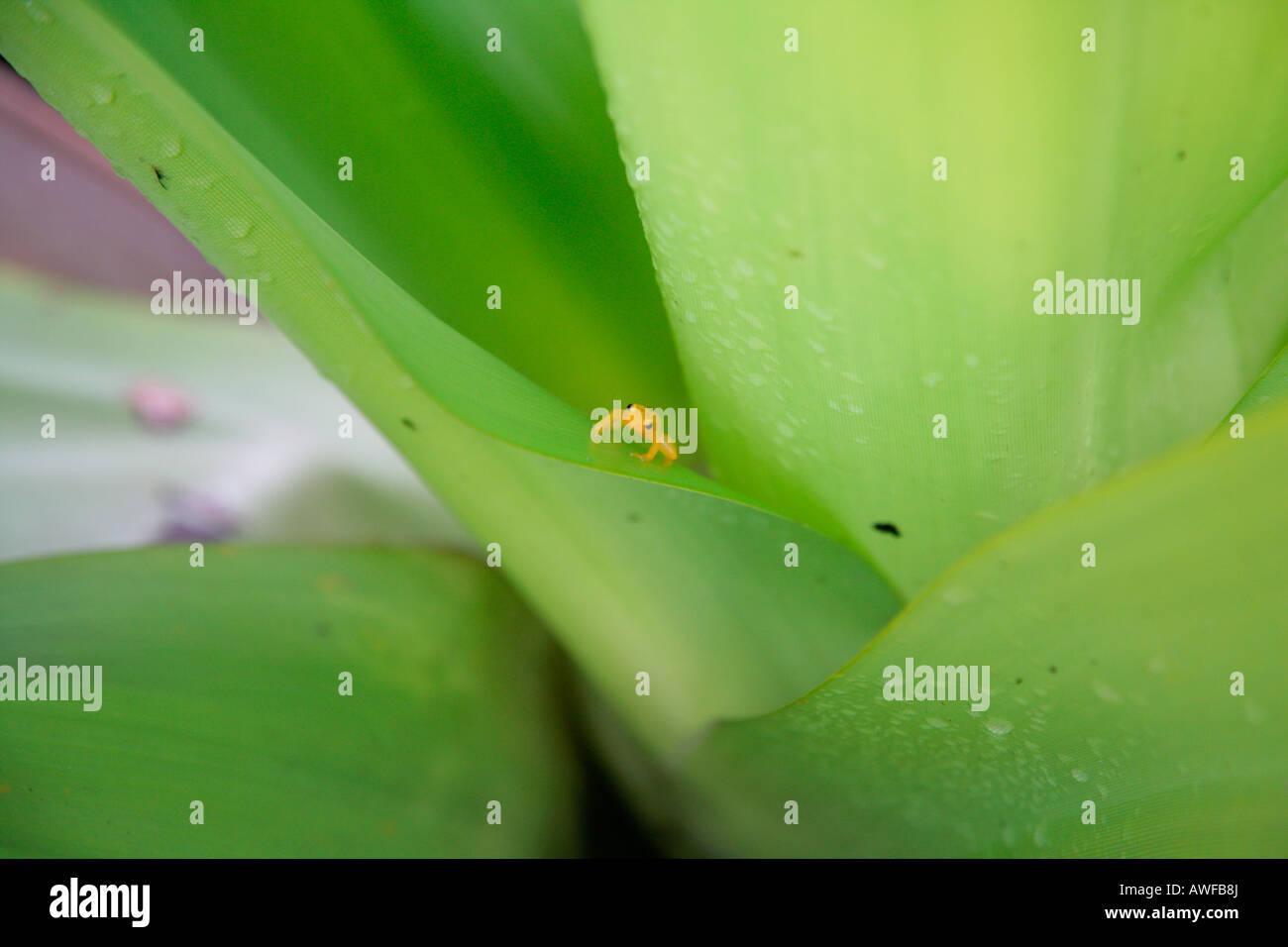 La zucca Toadlet (Brachycephalus ephippium) la misurazione di 2 cm, da il rospo a doppio spiovente (Famiglia Brachycephalidae), Immagini Stock