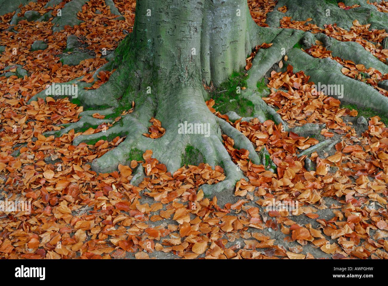 Europea di faggio (Fagus sylvatica) radici circondato da fogliame di autunno Foto Stock