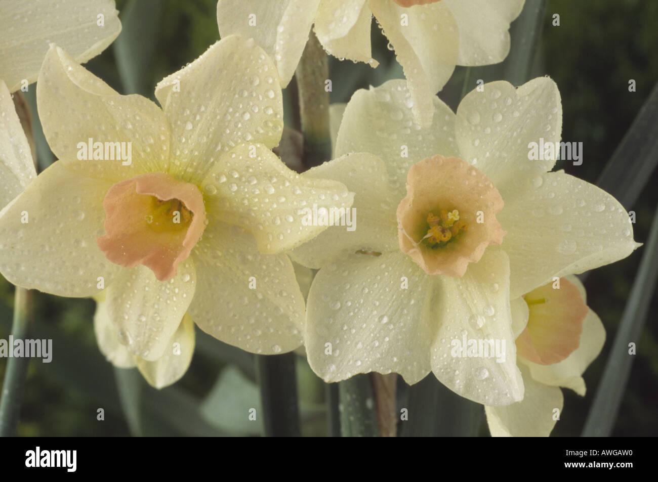 Fiori Bianchi Canzone.Narcissus Bell Canzone Divisione 7 Jonquilla Daffodil In