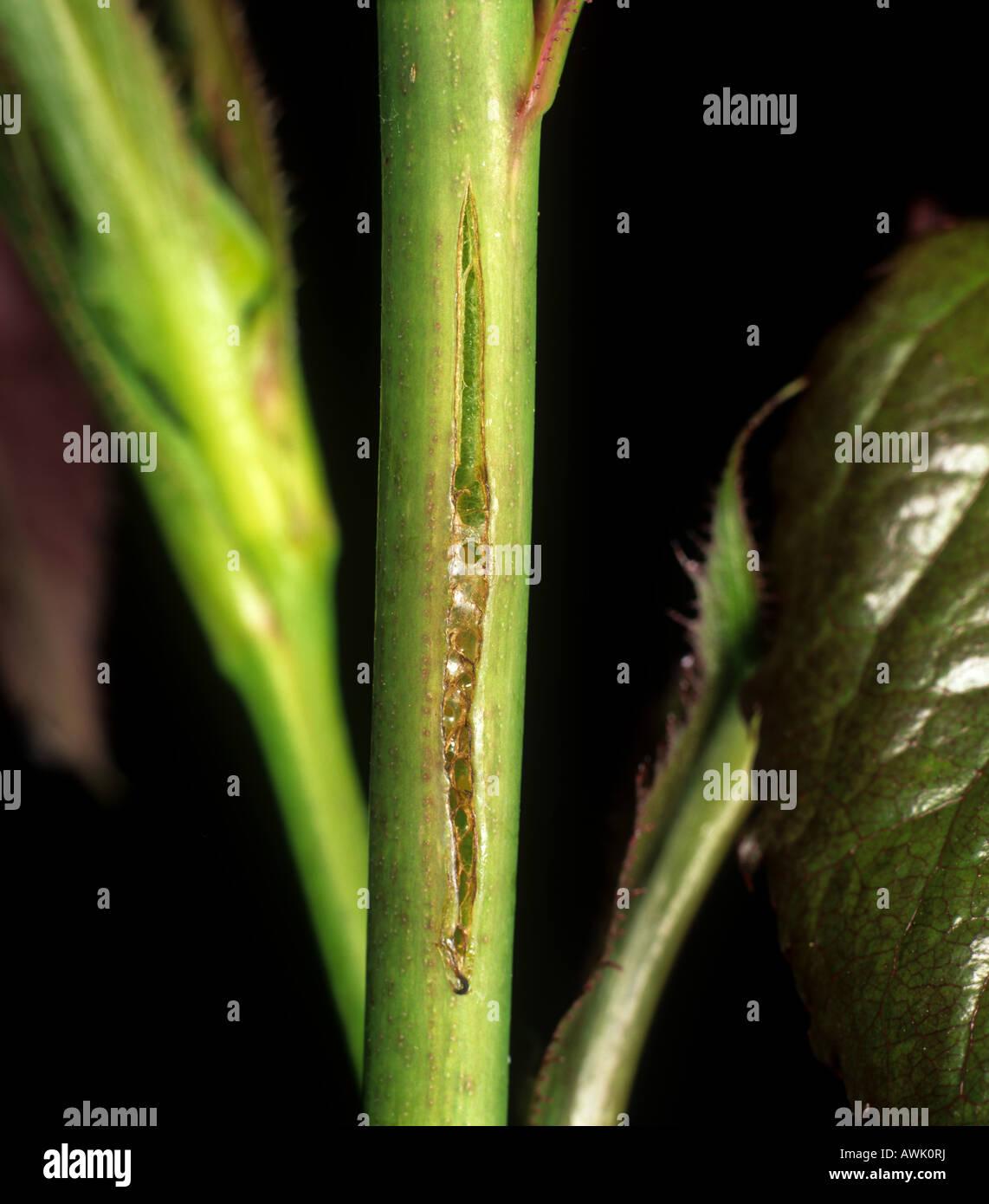 Rosa variabile sawfly Arge pagana cicatrice in cui le uova sono previste Immagini Stock