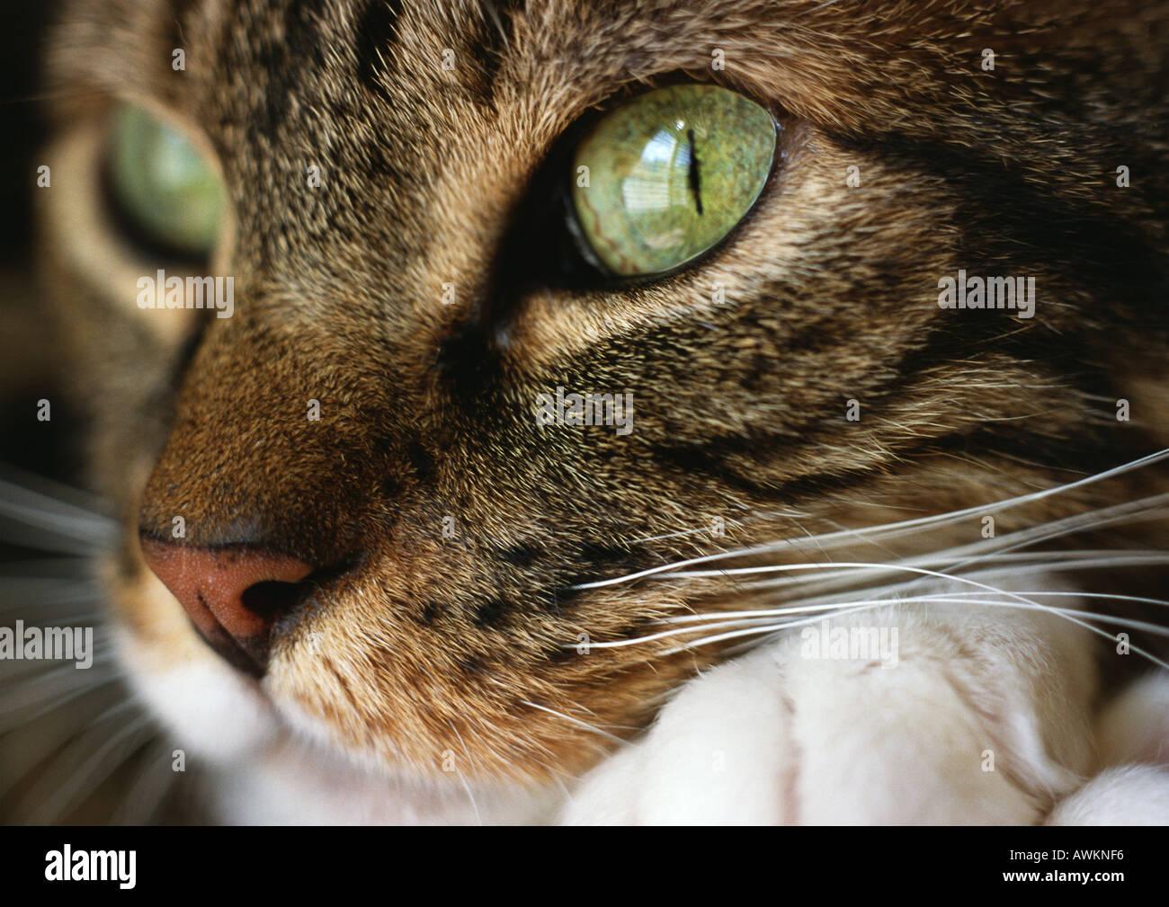 Gatto in faccia, vicino. Immagini Stock