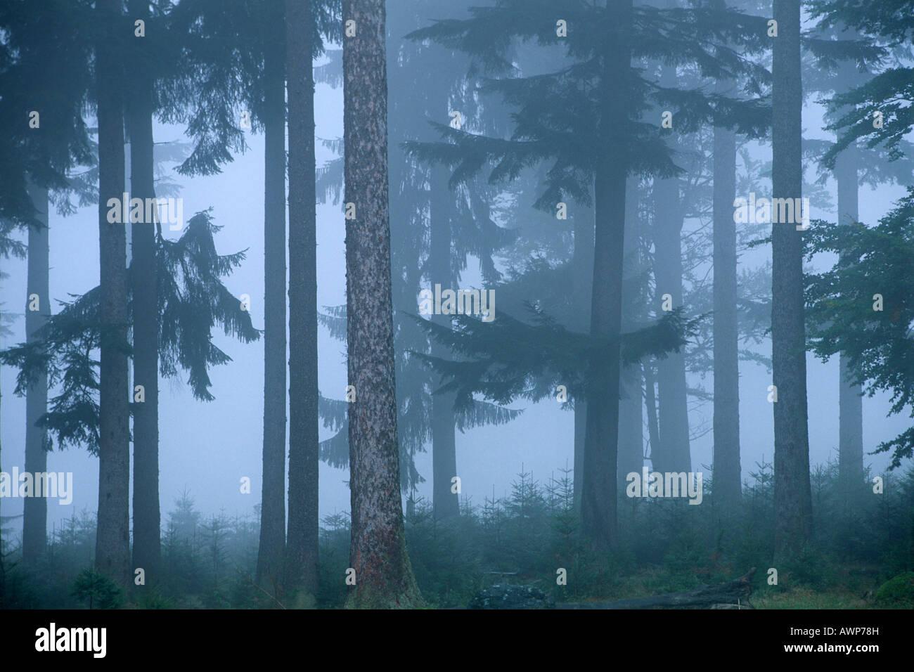 Misty Norvegia foreste di abete rosso (Picea abies), Nationalpark Bayerischer Wald (Parco Nazionale della Foresta Bavarese), in Baviera, Germania, Euro Foto Stock