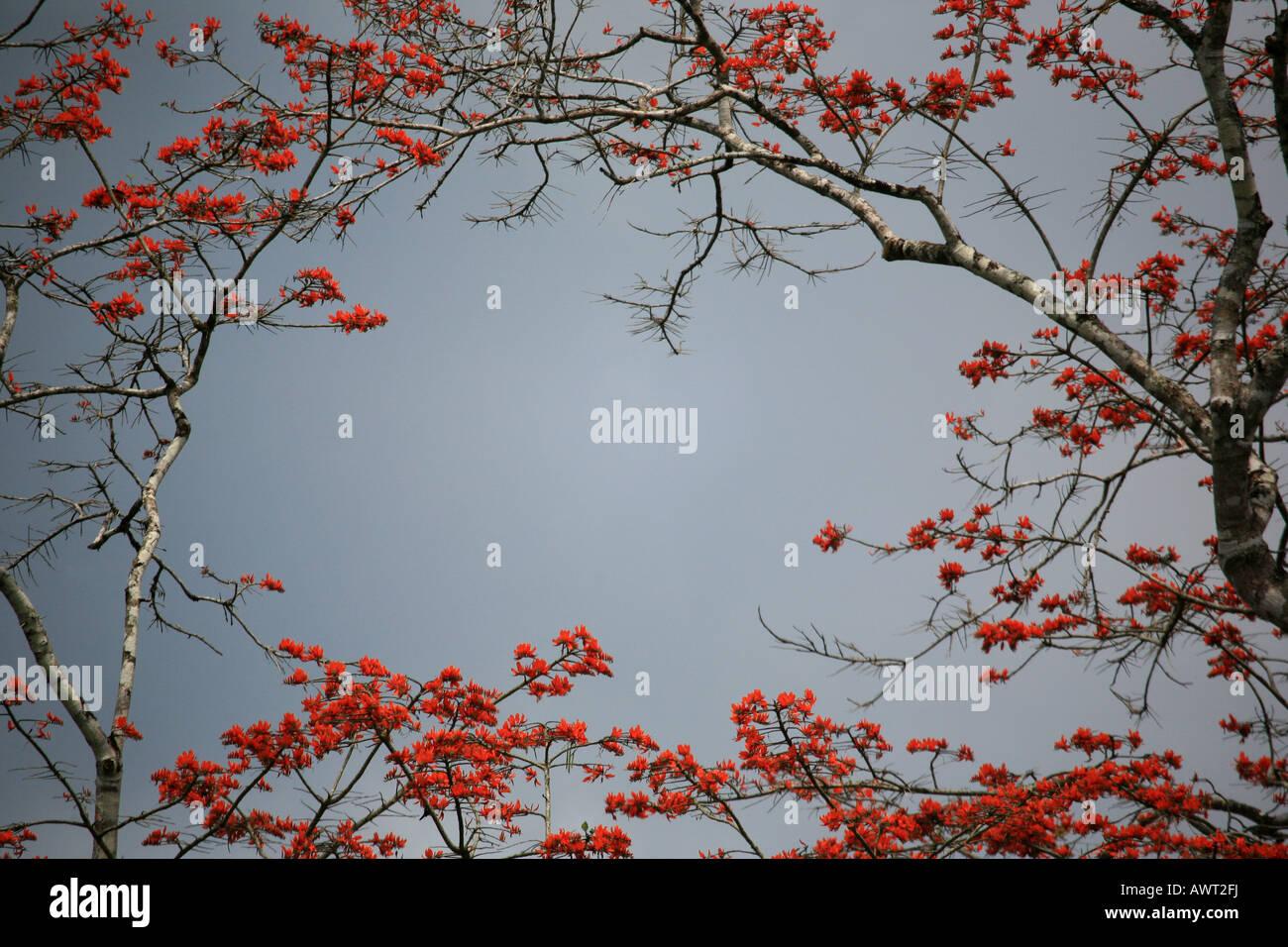 Fioritura albero vicino a Cana nel Parco Nazionale del Darién nella Repubblica di Panama Immagini Stock