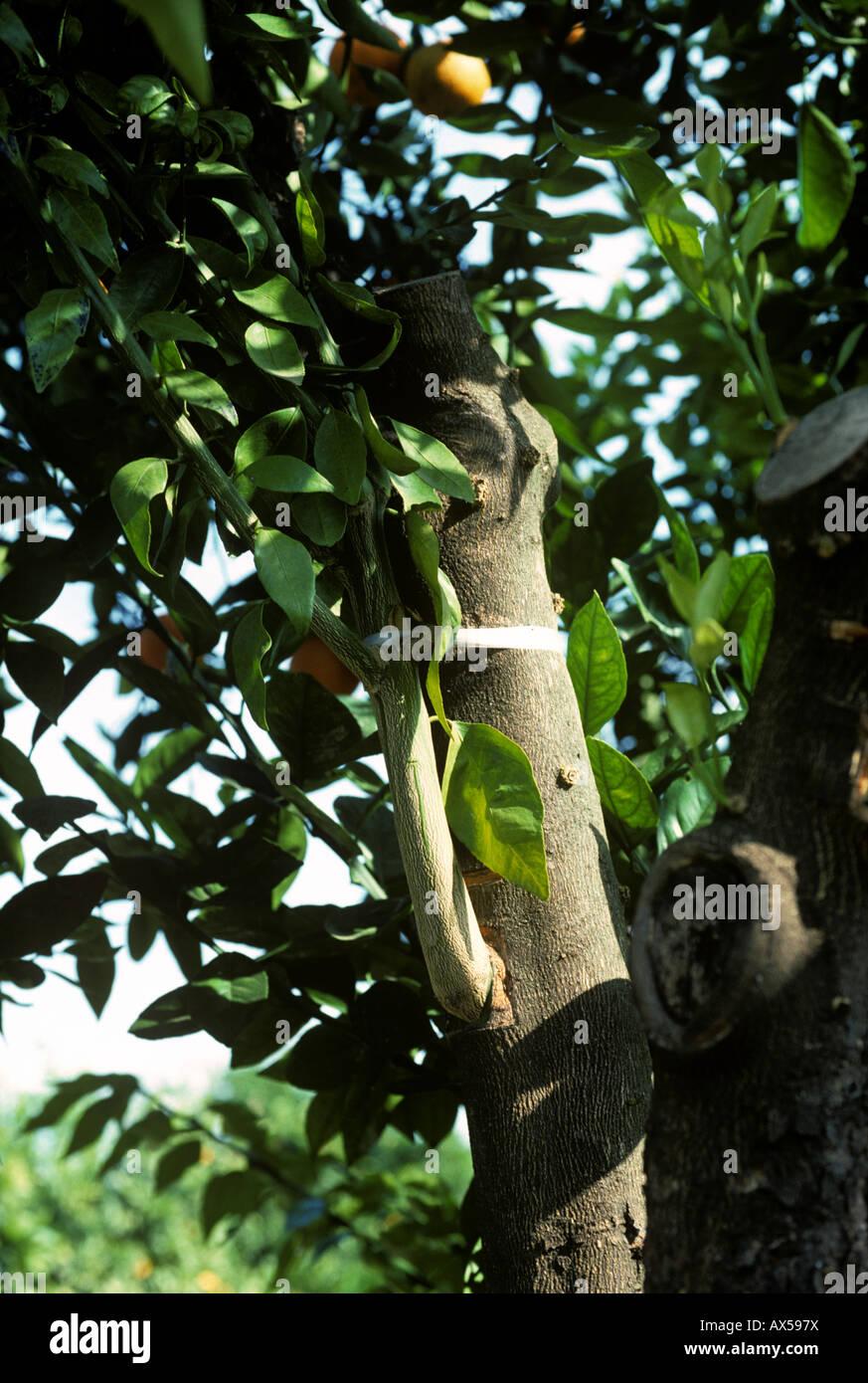 Il ramo innestate su un vecchio arancio portinnesto Spagna Immagini Stock