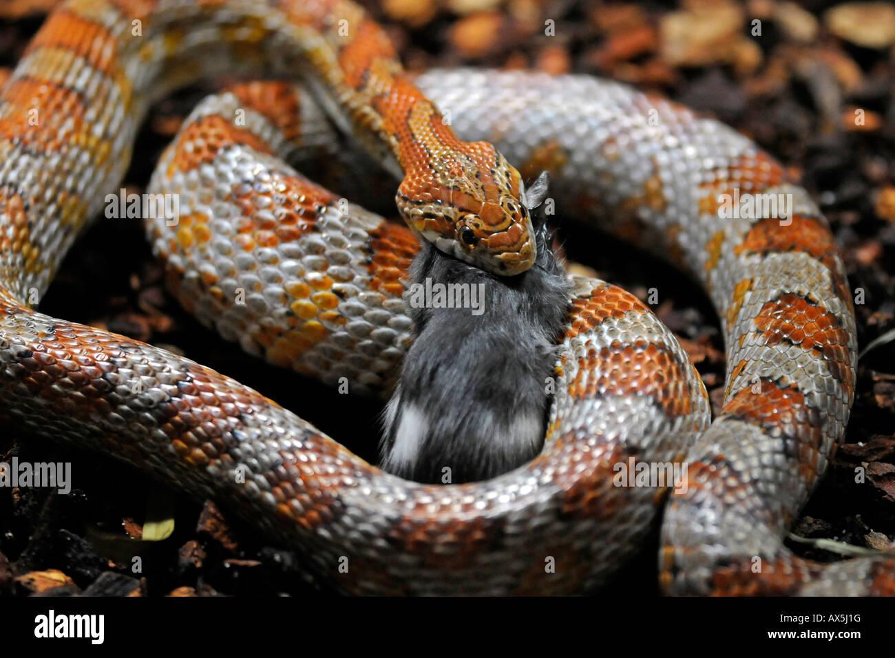 Il mais serpente o rosso serpente di ratto (Pantherophis guttatus) mangiando un mouse Immagini Stock