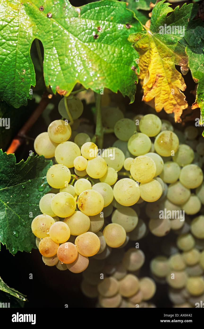 Un grappolo di uva sulla vite pronto per il vino bianco e il raccolto di Sherry Jerez de la Frontera, Andalusia Spagna. Vendimia del Jerez y la Manzanilla Immagini Stock