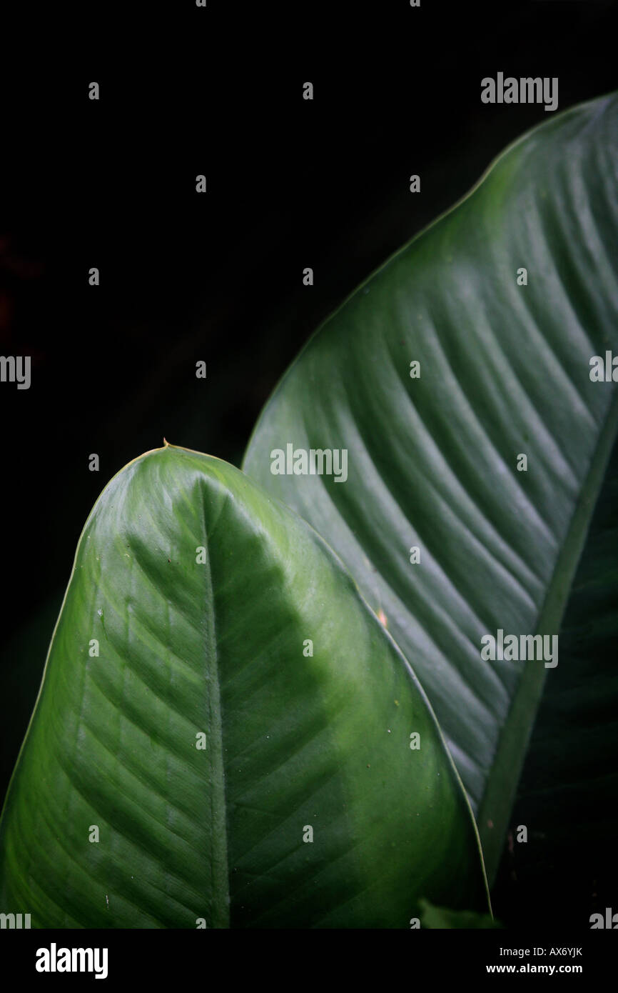 Grosse foglie nella foresta pluviale di Cana, provincia di Darien, Repubblica di Panama. Foto Stock