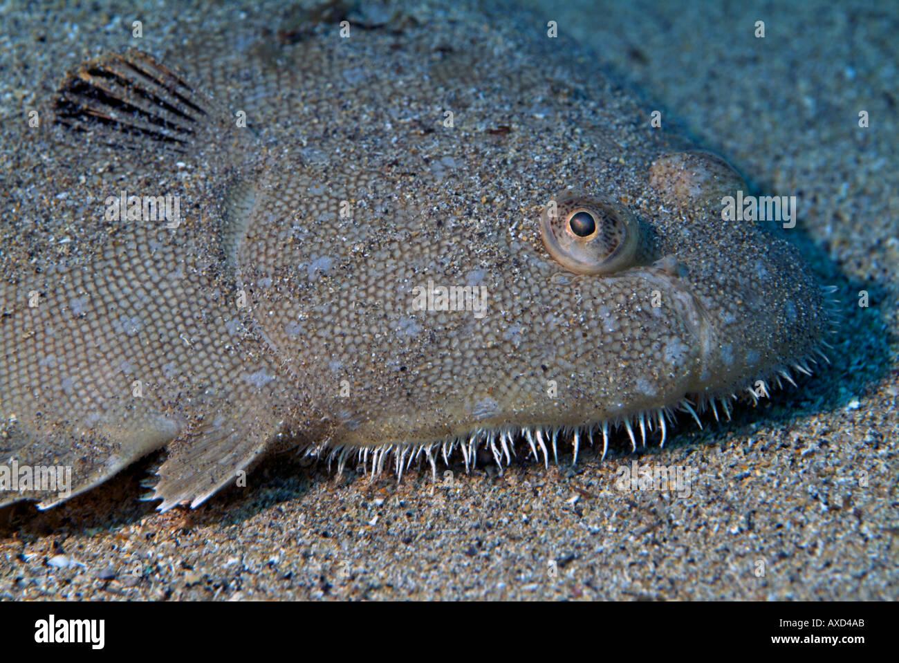 La sogliola (Solea vulgarilis) che si nasconde sotto la sabbia Immagini Stock