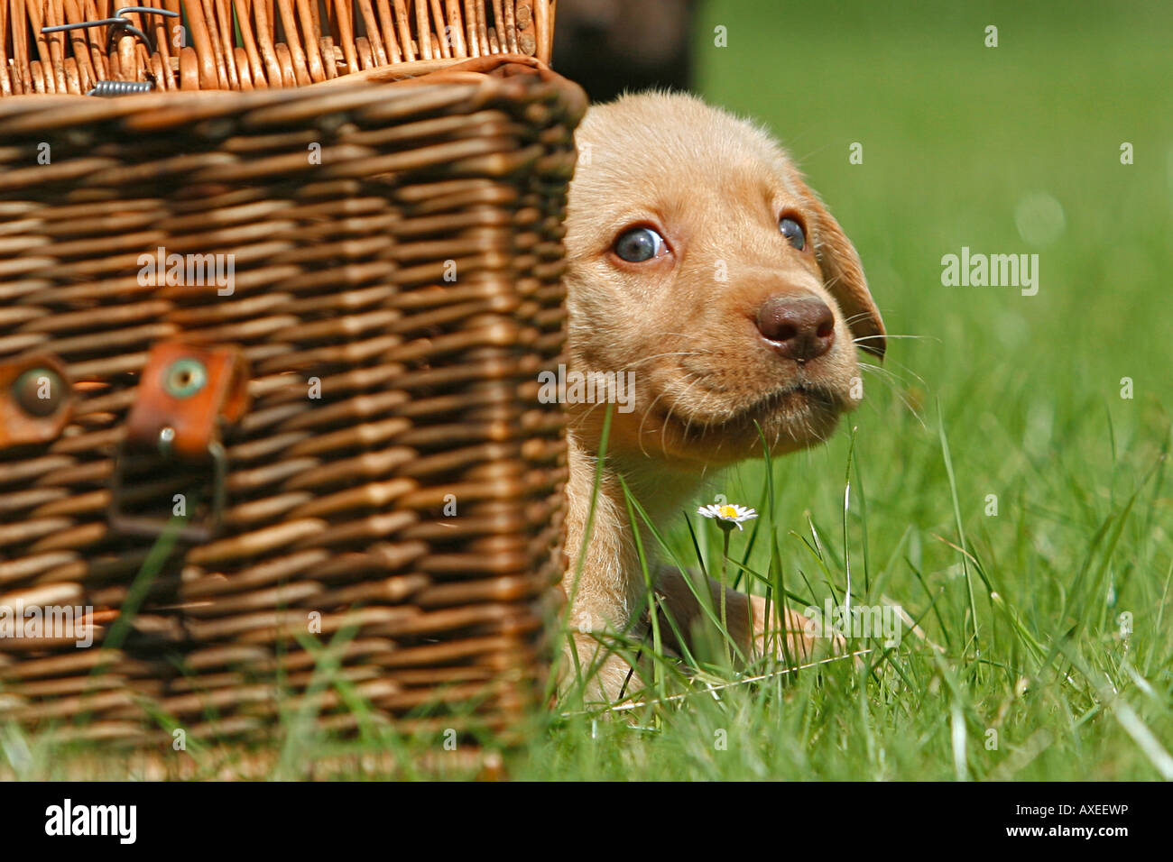 Il Labrador Retriever cucciolo guardando fuori di un cestello Immagini Stock