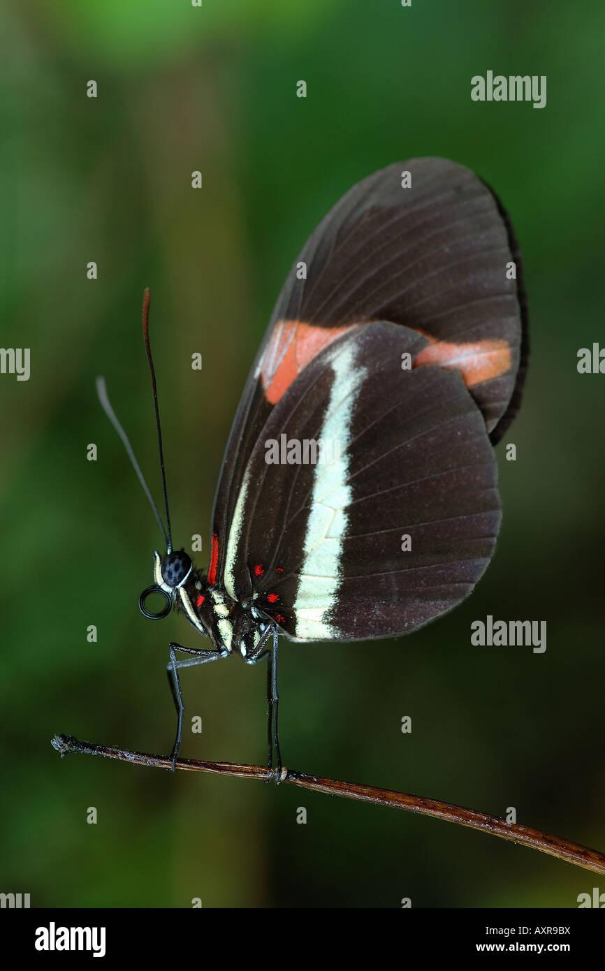 Eliconia Heliconia melpomene : mimetismo mimetismo Mulleriano eliconia farfalla insetti lepidotteri Hacienda Barù Immagini Stock