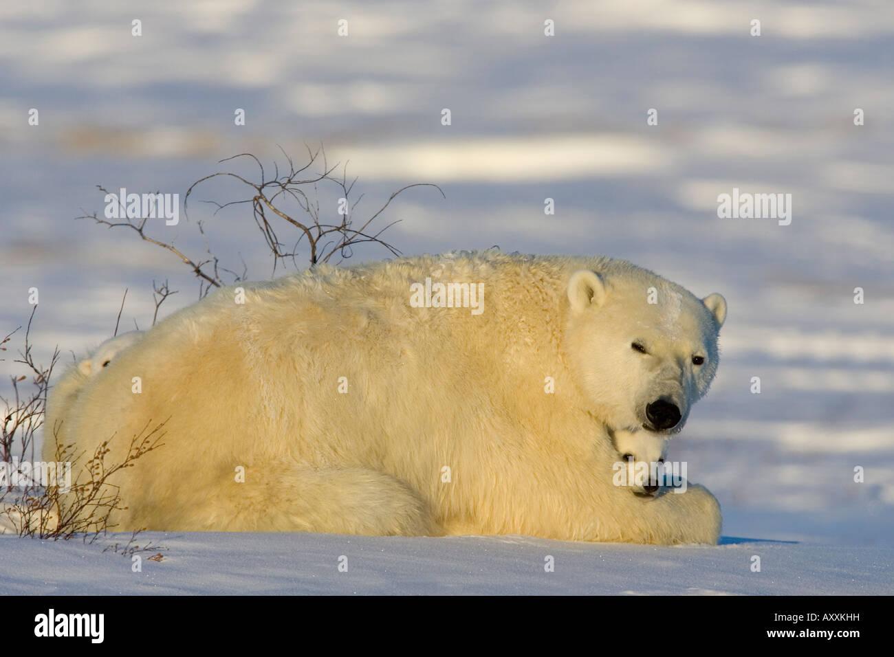 Orso polare con i cuccioli, (Ursus maritimus), Churchill, Manitoba, Canada Immagini Stock