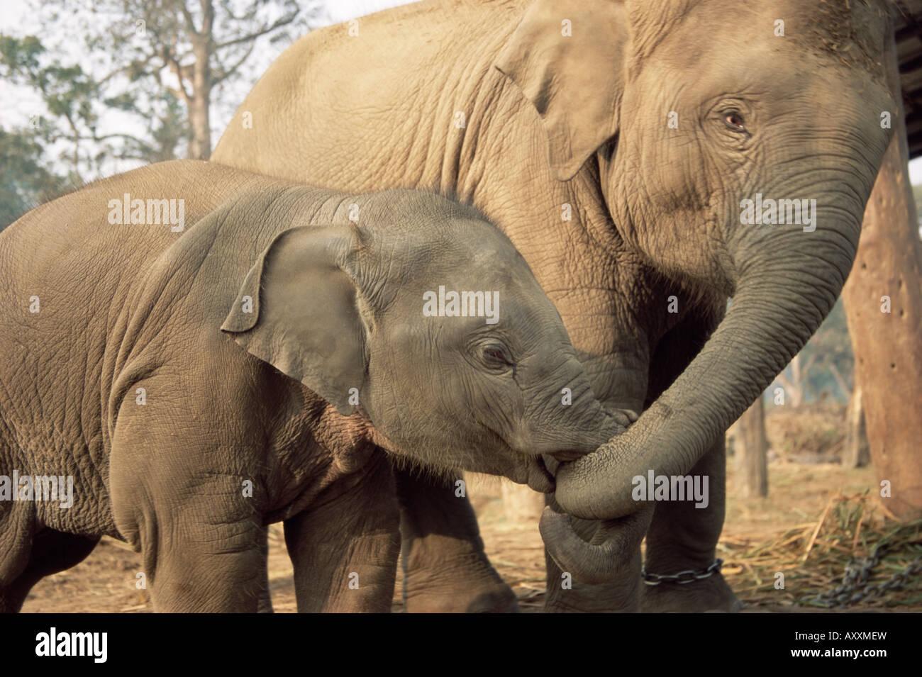 Captive asiatici (Indiana) elefanti, India, Asia Immagini Stock