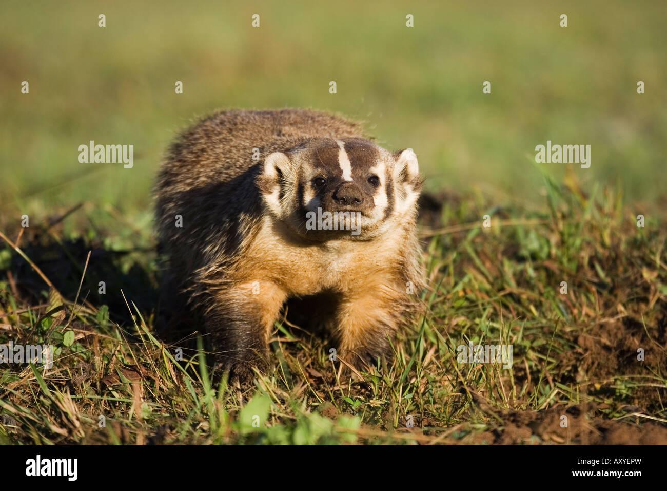 Badger (Taxidea taxus), in cattività, Minnesota Wildlife Connessione, arenaria, Minnesota, USA, America del Immagini Stock