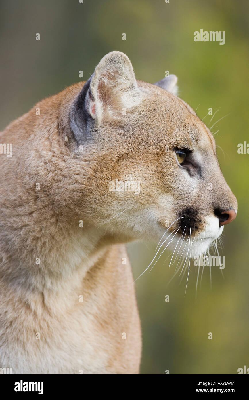 Mountain lion (cougar) (Felis concolor) fissando, in cattività, Minnesota Wildlife Connessione, Minnesota, Immagini Stock