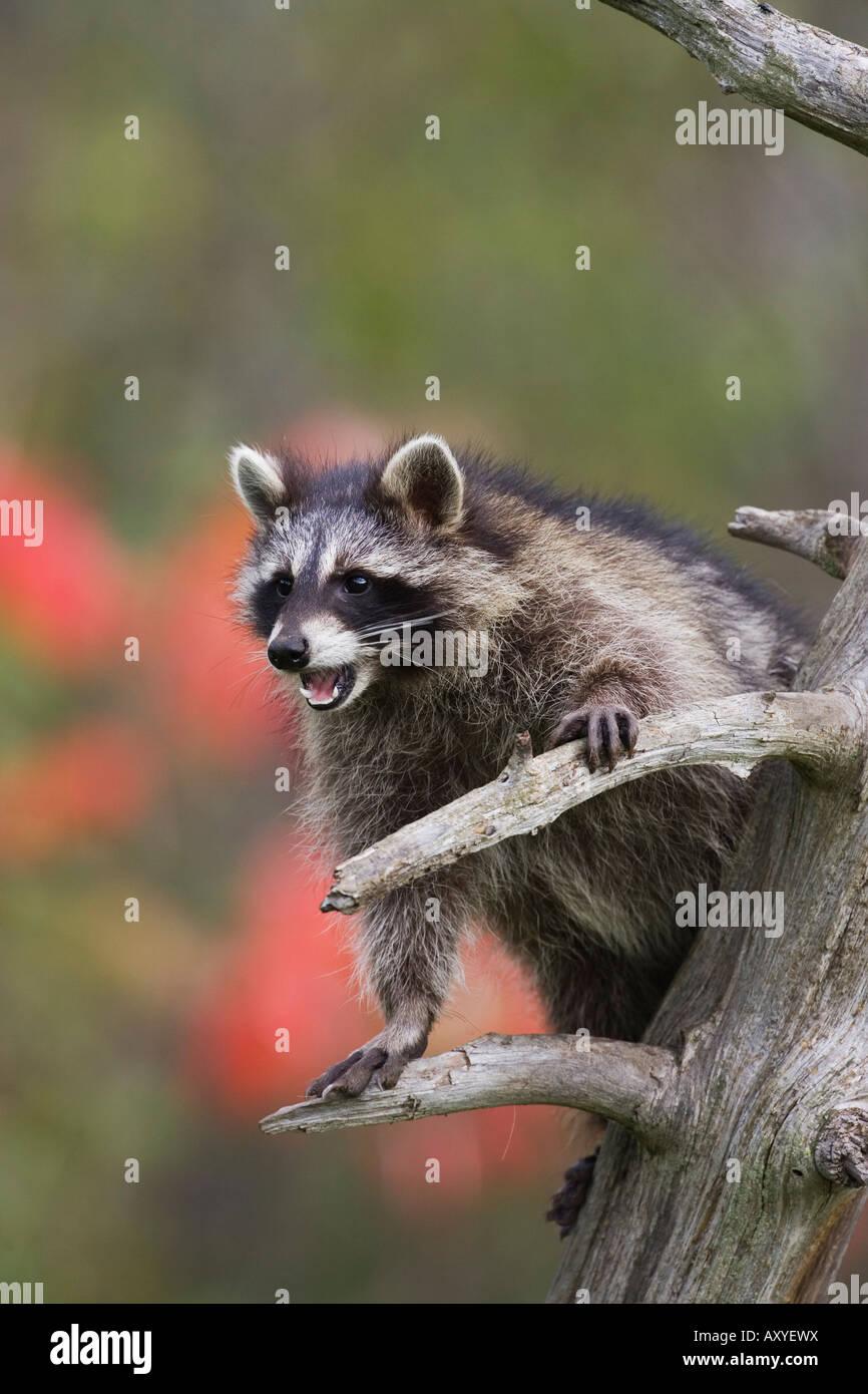 Raccoon (racoon) (Procione lotor) in una struttura ad albero con una bocca aperta, in cattività, Minnesota Immagini Stock