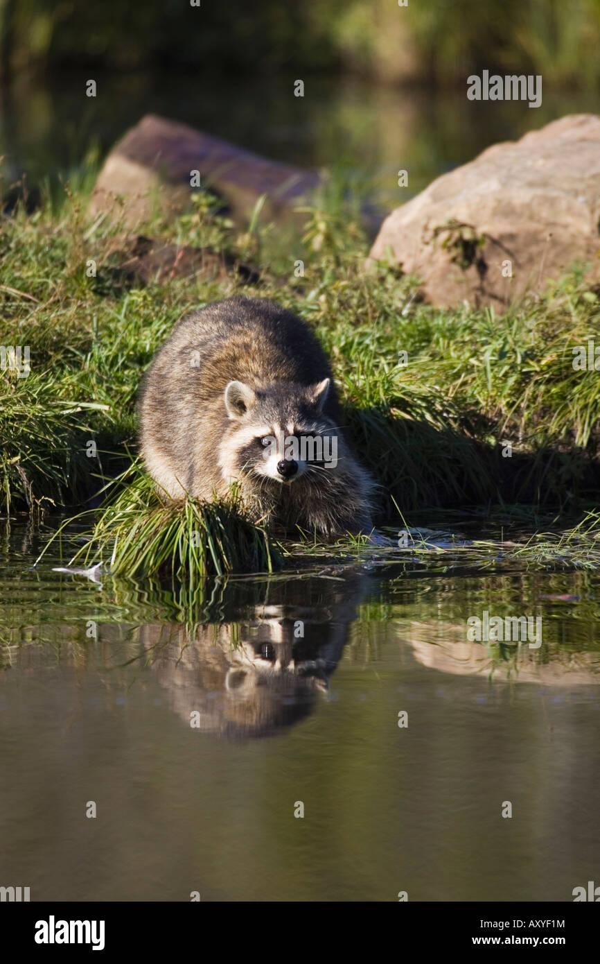 Raccoon (racoon) (Procione lotor) al bordo delle acque con la riflessione, in cattività, Minnesota Wildlife Immagini Stock