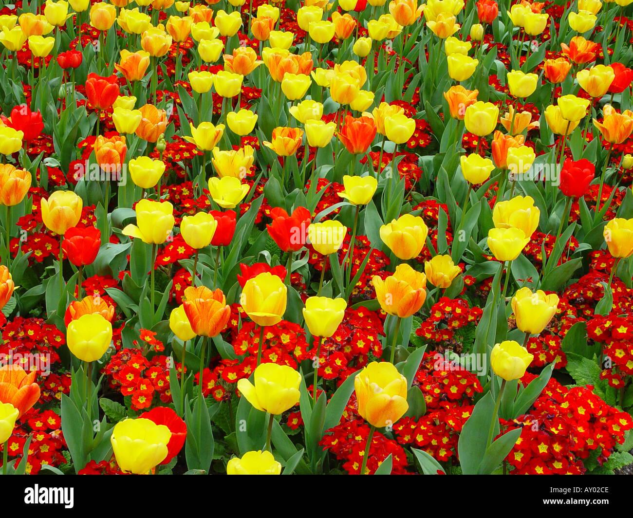 Letto di fiori di Primula Polyanthus Crescendo Red Tulip bellezza di Apeldoorn e onorevole J T Schneepers fiori di primavera schema di biancheria da letto Immagini Stock