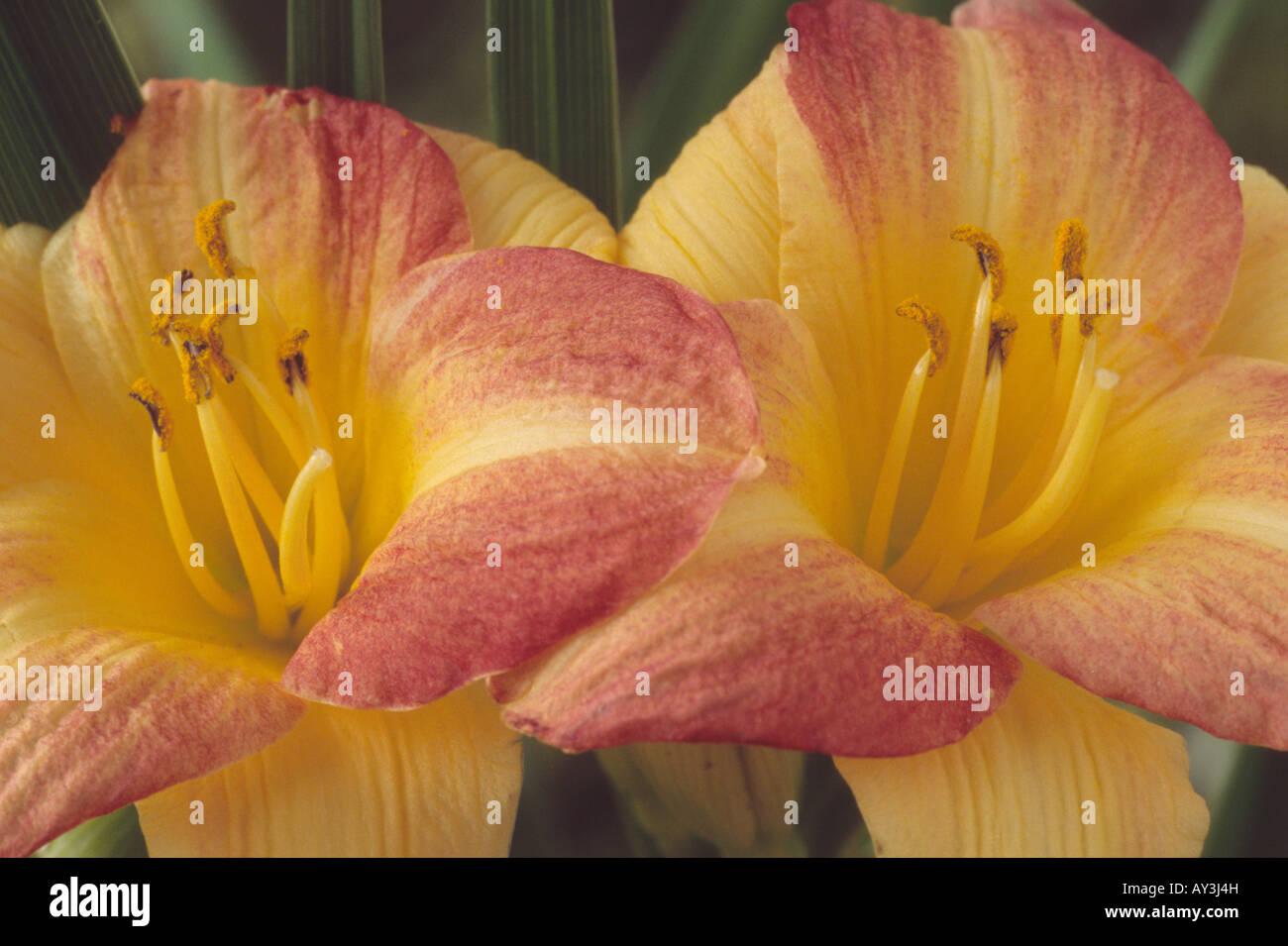 Hemerocallis 'Eenie Allegro' (Daylily) Immagini Stock
