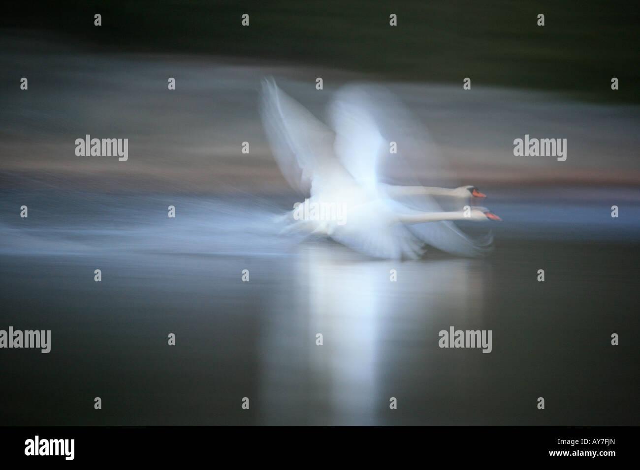 Cigno in volo da sogno sul lago Vansjø, Østfold fylke, Norvegia. Immagini Stock