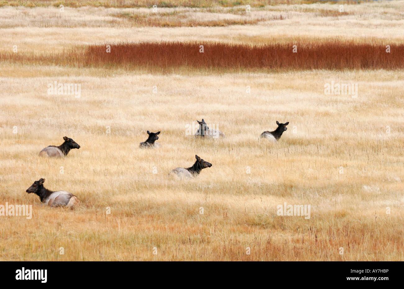 Una piccola mandria di elk lay pacificamente in autunno l'erba, il Parco Nazionale di Yellowstone, Wyoming USA Immagini Stock