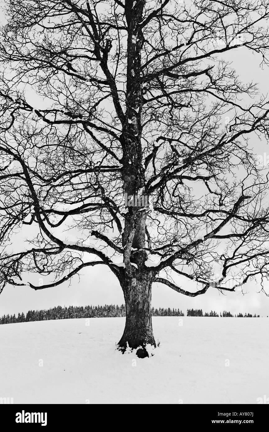 Coperta di neve alberi nel paesaggio invernale Immagini Stock