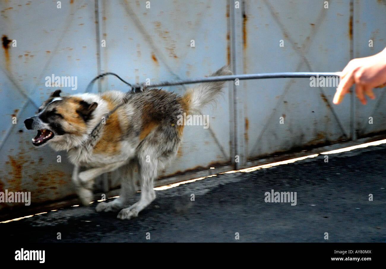 Raccoglitori per cane in Bucarest, la capitale, l'Europa orientale. Il governo della città di report che Immagini Stock