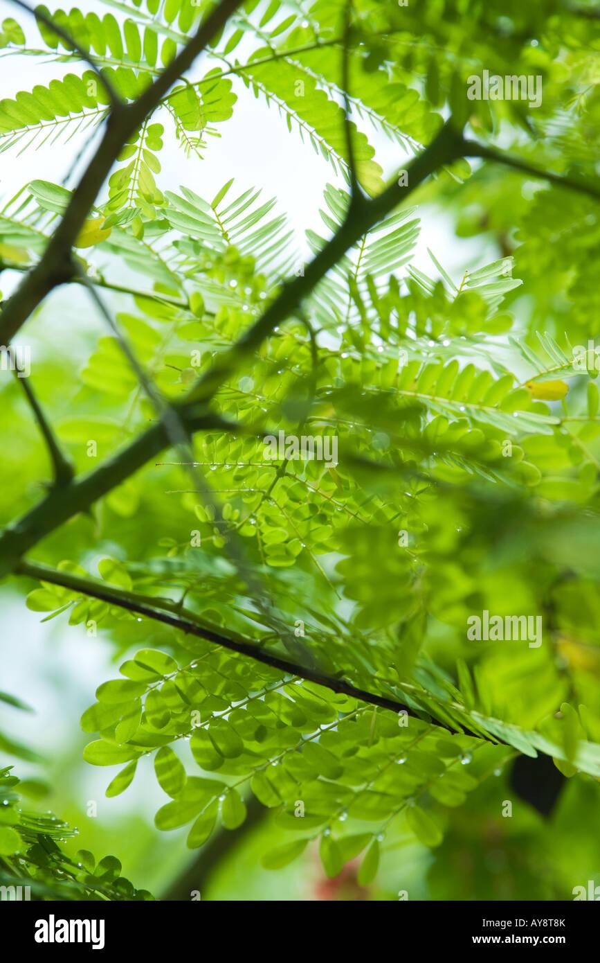 La Mimosa rami e foglie, close-up Immagini Stock
