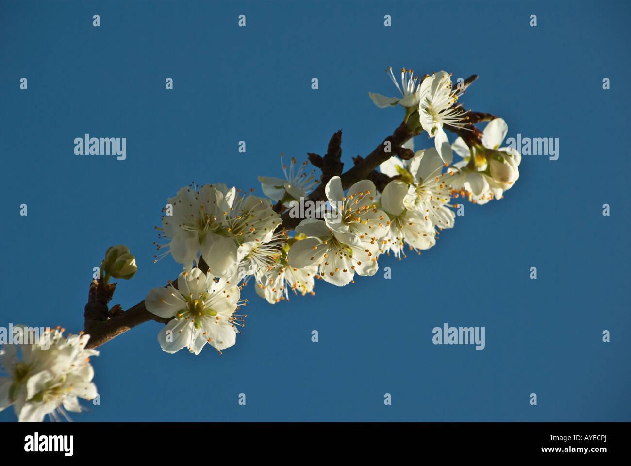 Prunus domestica Cambridge Gage AGM blossom che cresce in aprile England Regno Unito Immagini Stock