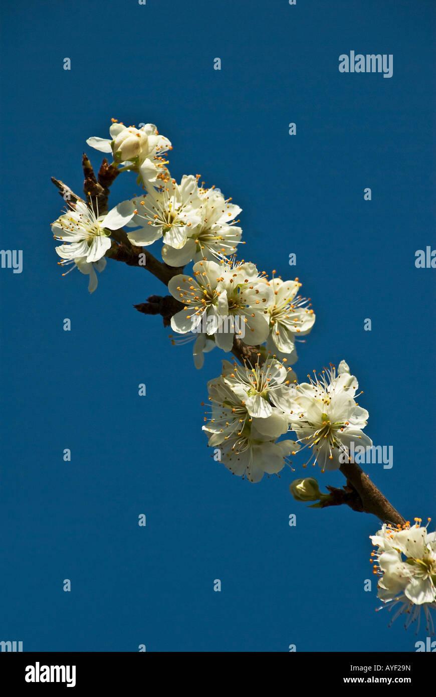 Prunus domestica Cambridge Gage AGM blossom che cresce in aprile England Regno Unito Foto Stock