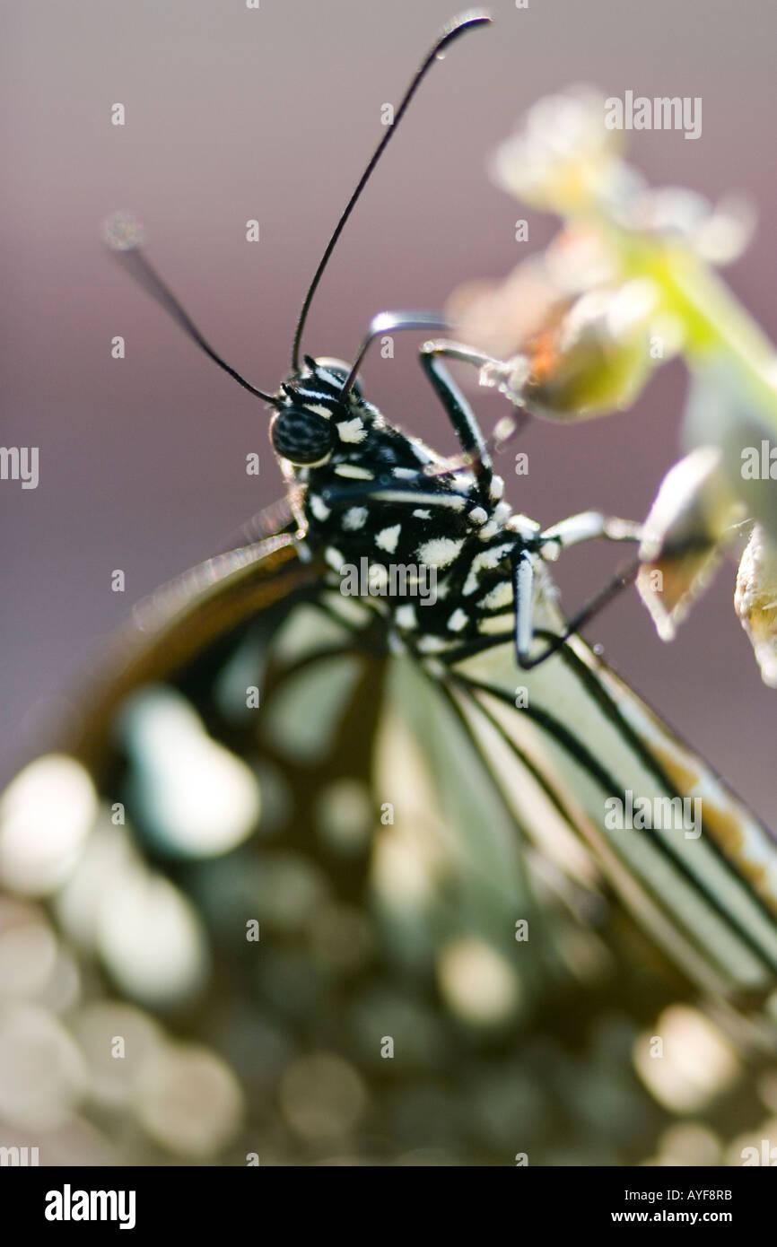 Tirumala limniace. Blue tiger butterfly nella campagna indiana. Andhra Pradesh, India Immagini Stock