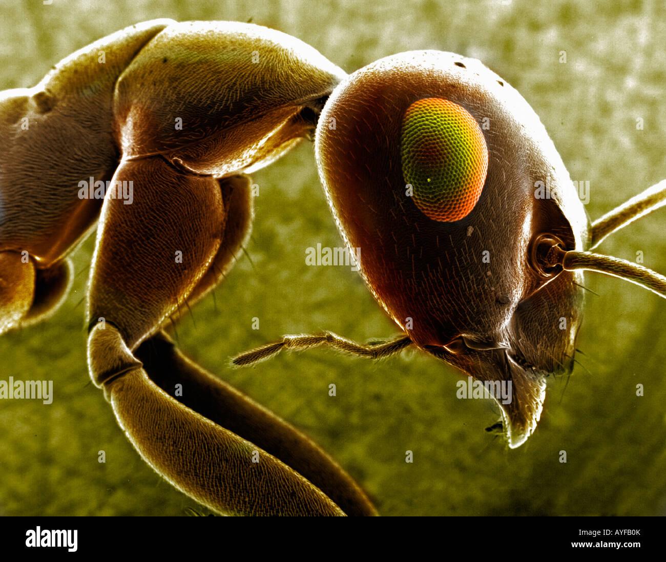 Ant come si osserva attraverso un microscopio EM Immagini Stock