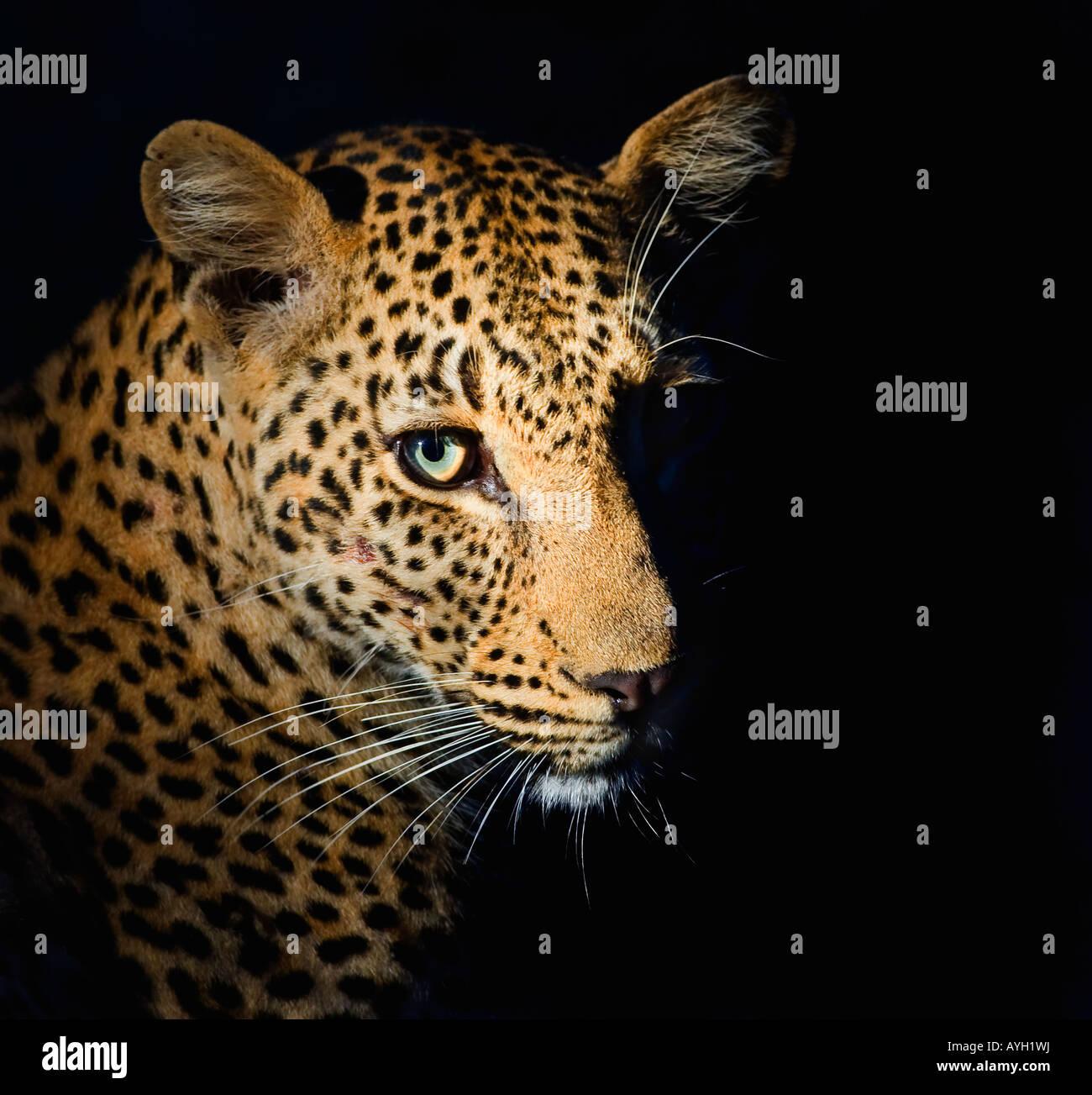 Close up di Leopard, il maggiore parco nazionale Kruger, Sud Africa Immagini Stock