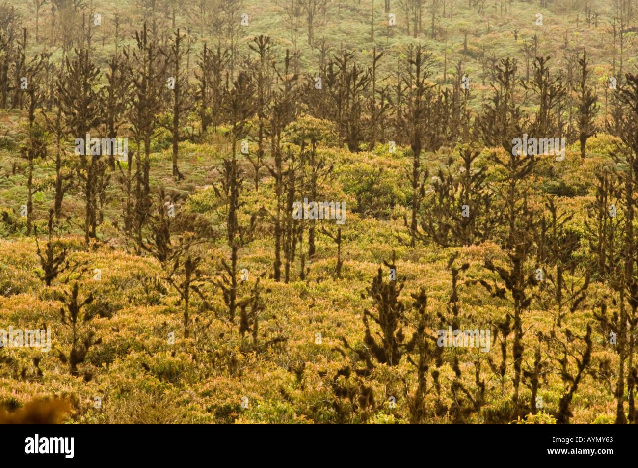La chinina, febbre alberi (China succirubra) introdotto, Santa Cruz Highlands, Galapagos, Ecuador, costa del Pacifico , America del Sud Immagini Stock