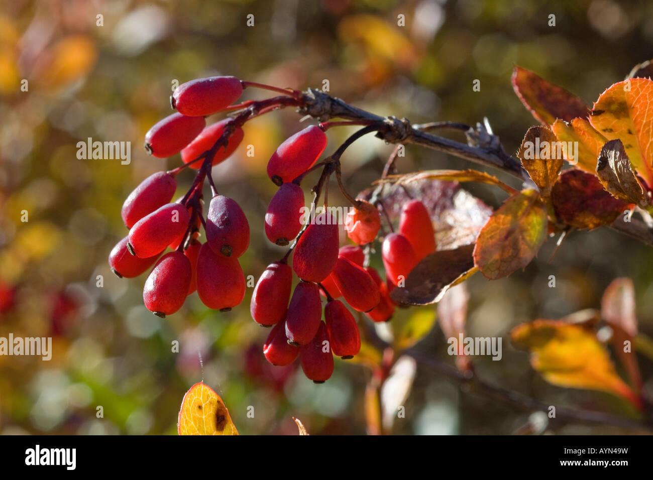 Crespino Berberis vulgaris arbusto arbusto piante vegetali frutto di frutta Gran Paradso Parco Nazionale Parco Nazionale Immagini Stock