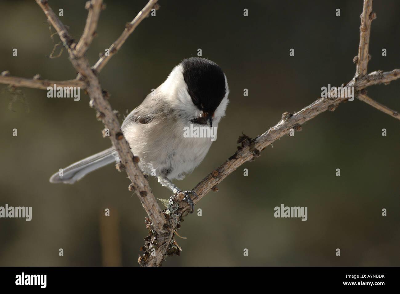Luisa Parus montanus cincia bigia alpestre bird uccelli cincia paridi Engadina Svizzera neve inverno Immagini Stock