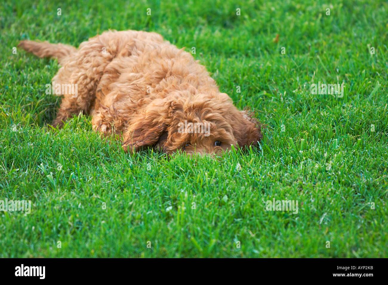 Golden doodle cani cucciolo di cane morbidi i capelli ricci la riproduzione di erba verde nuova razza Immagini Stock
