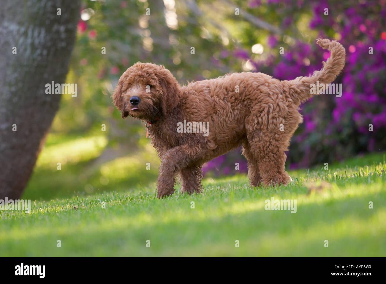 Golden doodle cane cucciolo cani retriver poodle verde erba cespugli di fiori Immagini Stock