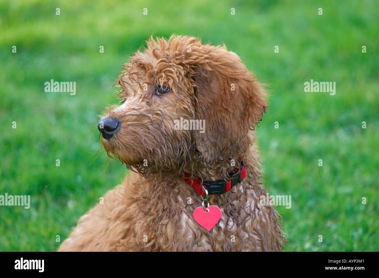 Golden doodle retriver cane barboncino cucciolo cani fuzzy capelli ricci Foto Stock