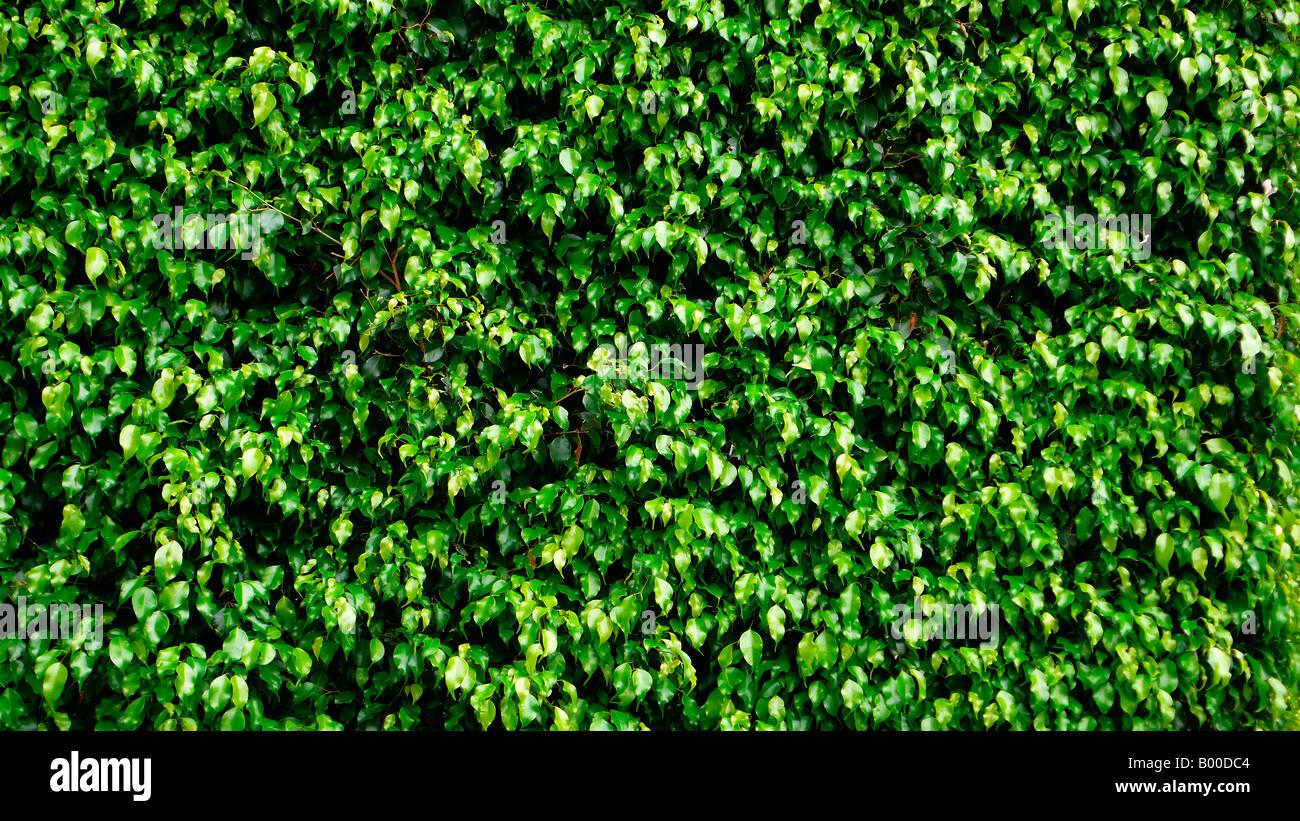 Texture Di Colore Verde Brillante Siepe Di Foglie Foto Immagine