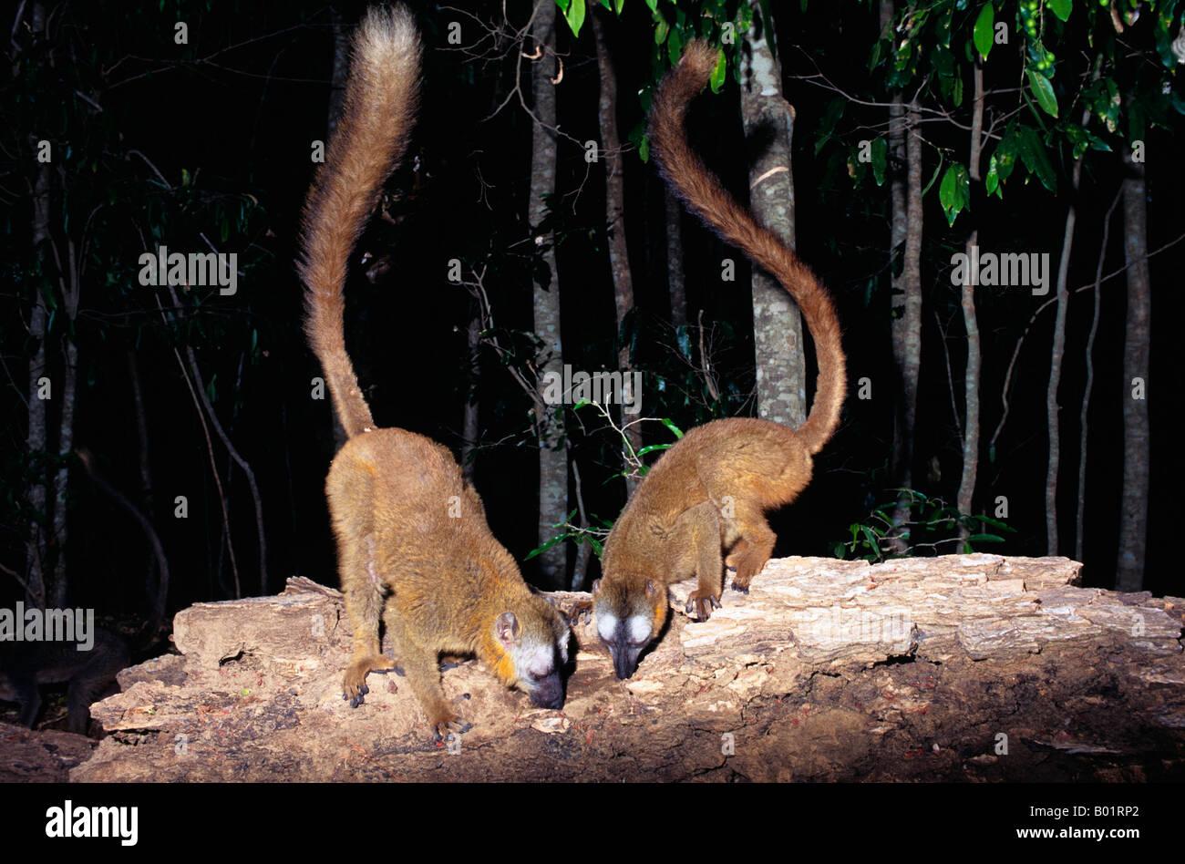Maki roux Eulemur Rufus lemure marrone del Madagascar sud Africa African BROWN Eulemur Eulemur Lemuridae Madagasc Immagini Stock