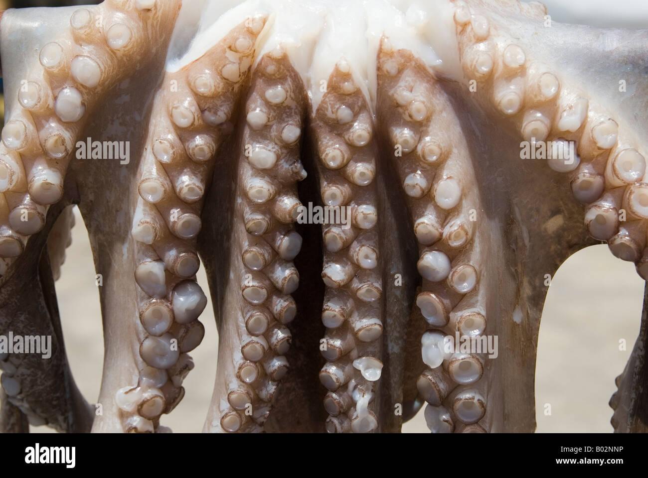 Close-up dettaglio del polpo ventose lungo le loro braccia, appeso al sole presso la città portuale di Naoussa Immagini Stock
