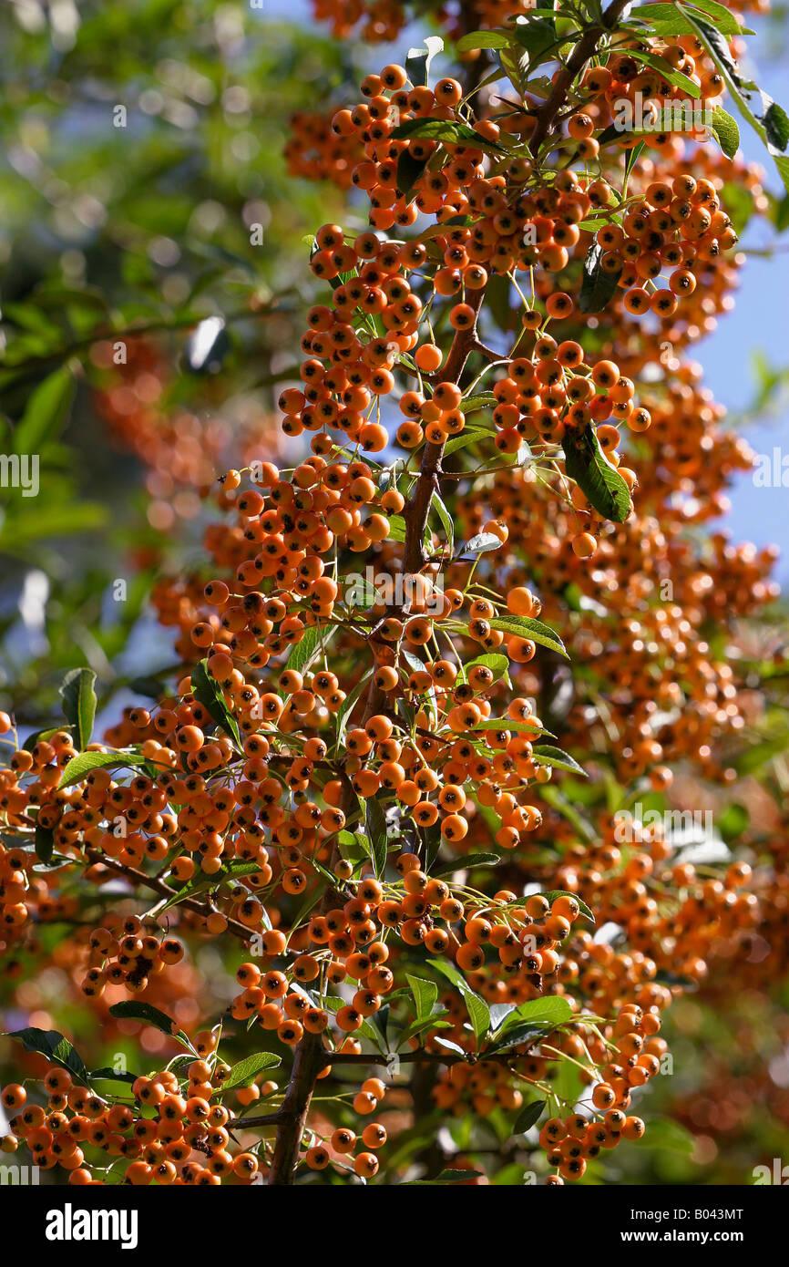 Firethorn Feuerdorn Pyracantha coccinea Brennender Busch firethorn buisson ardente espinos de Fuego Immagini Stock