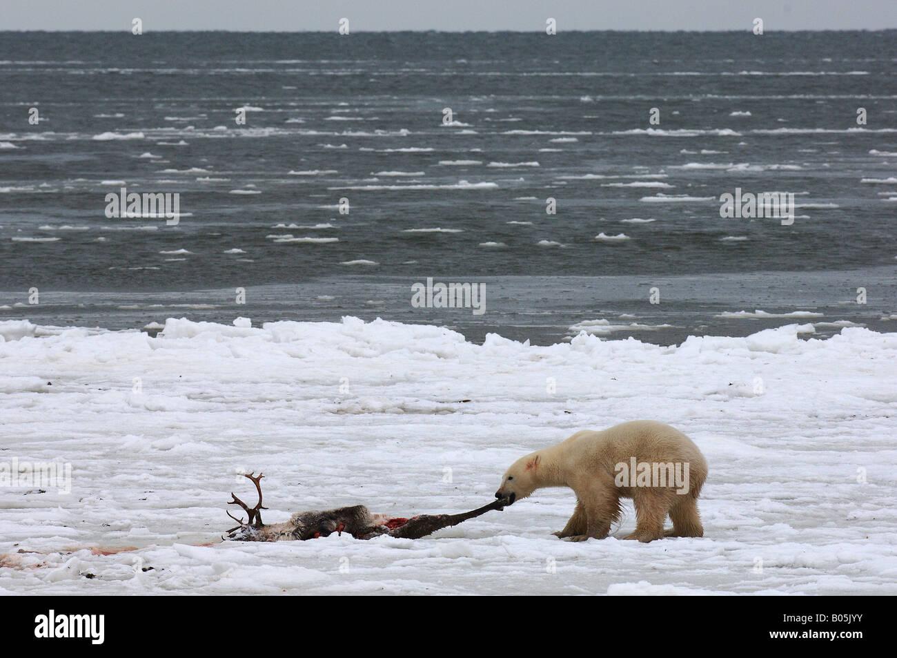 Manitoba della baia di Hudson foto uniche dei maschi di orso polare alimentazione su una carcassa di Caribou Coffee Immagini Stock
