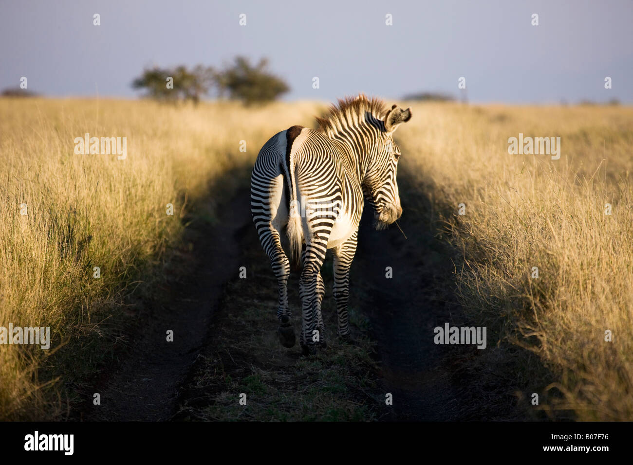 Di Grevy zebra, Lewa Wildlife Conservancy, Kenya Immagini Stock